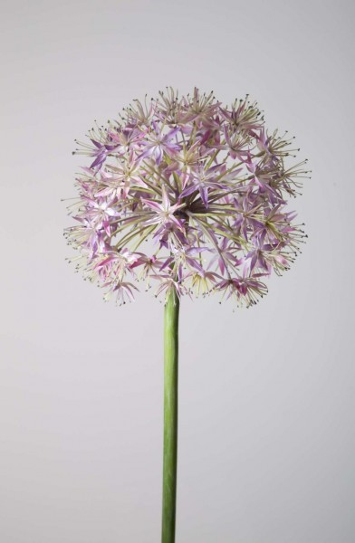 Allium Flower Stem 95cm