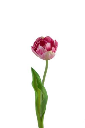 Single Tulip w/2 lvs 41cm