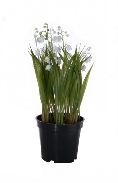 Lily of the Valley in pot 19cm