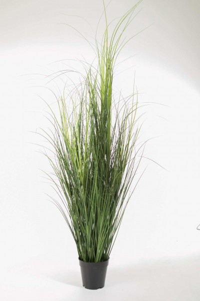 Curly Grass in pot 140cm